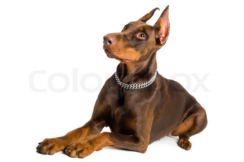 2250520-946669-portrait-of-lying-purebred-brown-doberman-pinscher-isolated-over-white